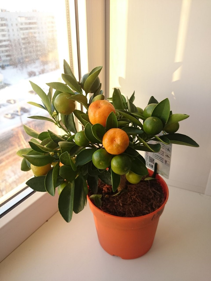 Dwarf Citrus For Room
