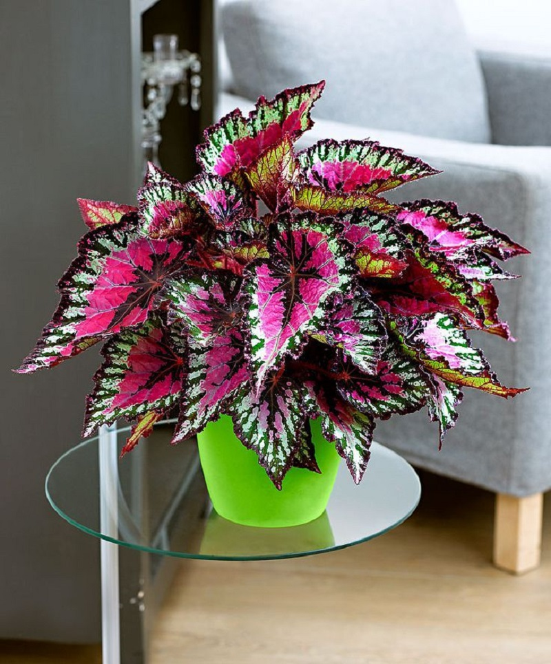 Rex Begonia For Indoor